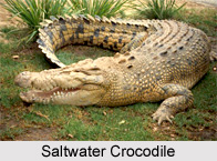 Saltwater Crocodile, Indian Reptile