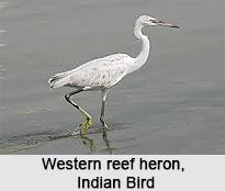 Western Reef Heron, Indian Bird