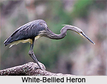 White-bellied heron, Indian Bird