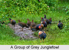 Grey Junglefowl, Bird