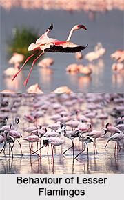 Lesser Flamingo, Indian Bird