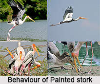 Painted stork, Indian Bird