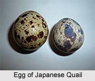 Japanese Quail, Indian Bird