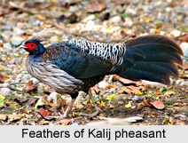 Kalij Pheasant, Indian Bird