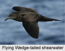 Wedge-Tailed Shearwater, Indian Bird