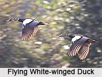 White-Winged Duck, Indian Bird