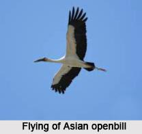 Asian Openbill, Indian Bird