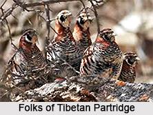 Tibetan partridge, Indian Bird