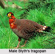 Blyth's tragopan, Indian Bird