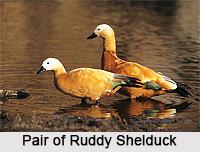 Ruddy Shelduck, Indian Bird