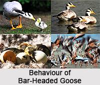 Bar-Headed Goose, Indian Bird