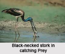 Black-Necked Stork, Indian Bird