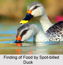Spot-Billed Duck, Indian Bird