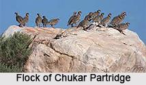 Chukar Partridge, Indian Bird