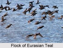 Eurasian teal, Indian Bird