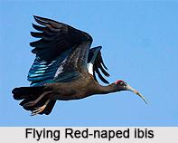 Red-naped ibis, Indian Bird