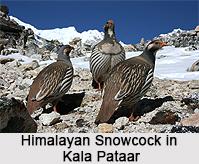 Himalayan Snowcock, Indian Bird