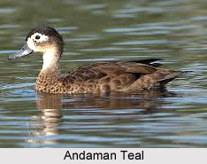 Andaman Teal, Indian Bird
