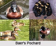 Baer's Pochard, Indian Bird