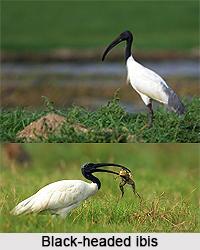 Black-headed ibis, Indian Bird