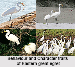 Eastern Great Egret, Indian Bird
