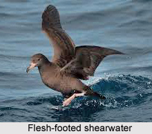Flesh-Footed Shearwater, Indian Bird