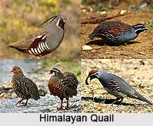 Himalayan Quail, Indian Bird