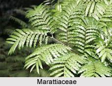 Marattiaceae