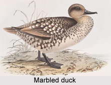 Marbled duck, Indian Bird