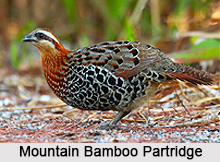 Mountain Bamboo Partridge, Bird
