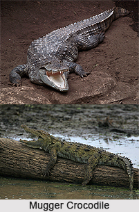 Mugger Crocodile, Indian Reptile