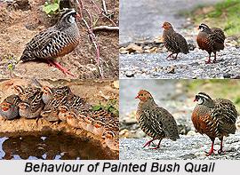 Painted Bush Quail, Indian Bird