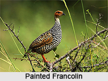 Painted Francolin, Indian Bird