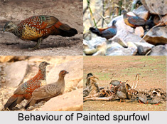 Painted Spurfowl, Indian Pheasant