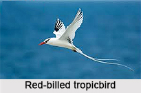 Red-Billed Tropicbird, Indian Bird