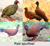 Red Spurfowl, Indian Pheasant