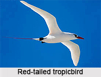 Red-Tailed Tropicbird, Indian Bird