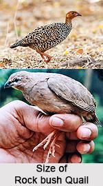 Rock bush quail, Indian Bird