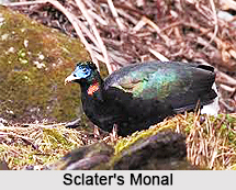 Sclater's monal, Indian Bird