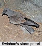 Swinhoe's Storm Petrel, Indian Bird