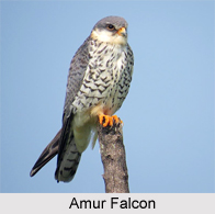 Amur Falcon, Indian Bird