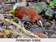 Andaman crake, Indian Bird