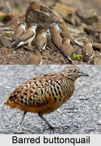 Barred Buttonquail, Indian Bird