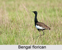 Bengal florican, Indian Bird