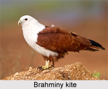 Brahminy Kite, Indian Bird