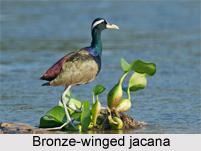 Bronze-Winged Jacana, Indian Bird