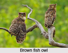 Brown Fish Owl, Indian Bird