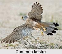 Common Kestrel, Indian Bird