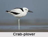 Crab-Plover, Indian Bird