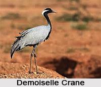 Demoiselle Crane, Indian Bird